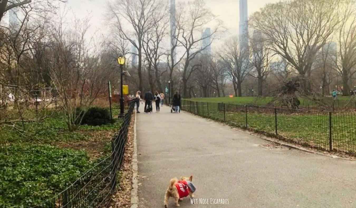 Yorkie dog at Central Park, Upper East Side