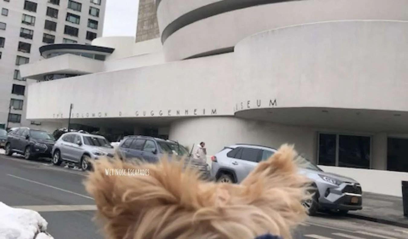 Yorkie Dog at Solomon R. Guggenheim Museum, Upper East Side NYC