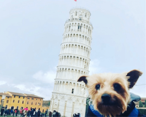 Yorkie Dog with the Leaning Tower of Pisa