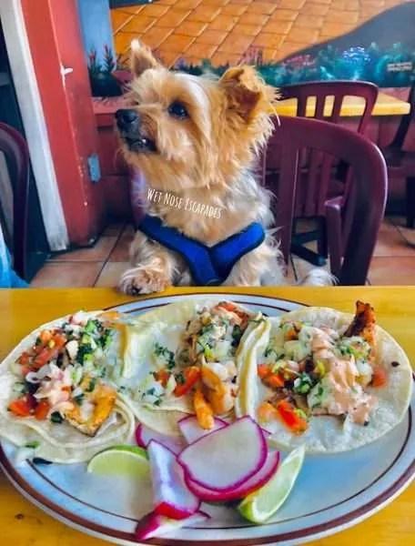 Yorkie Dog at dog-friendly restaurant inManhattan Beach