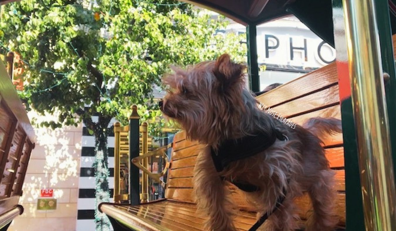 Yorkie Dog riding the trolley at The Grove