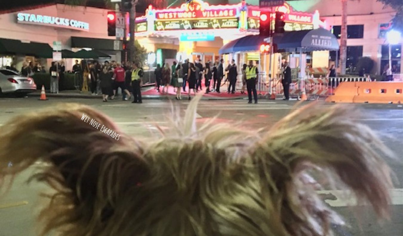 Yorkie Dog in Westwood Village, Dog-friendly Los Angeles