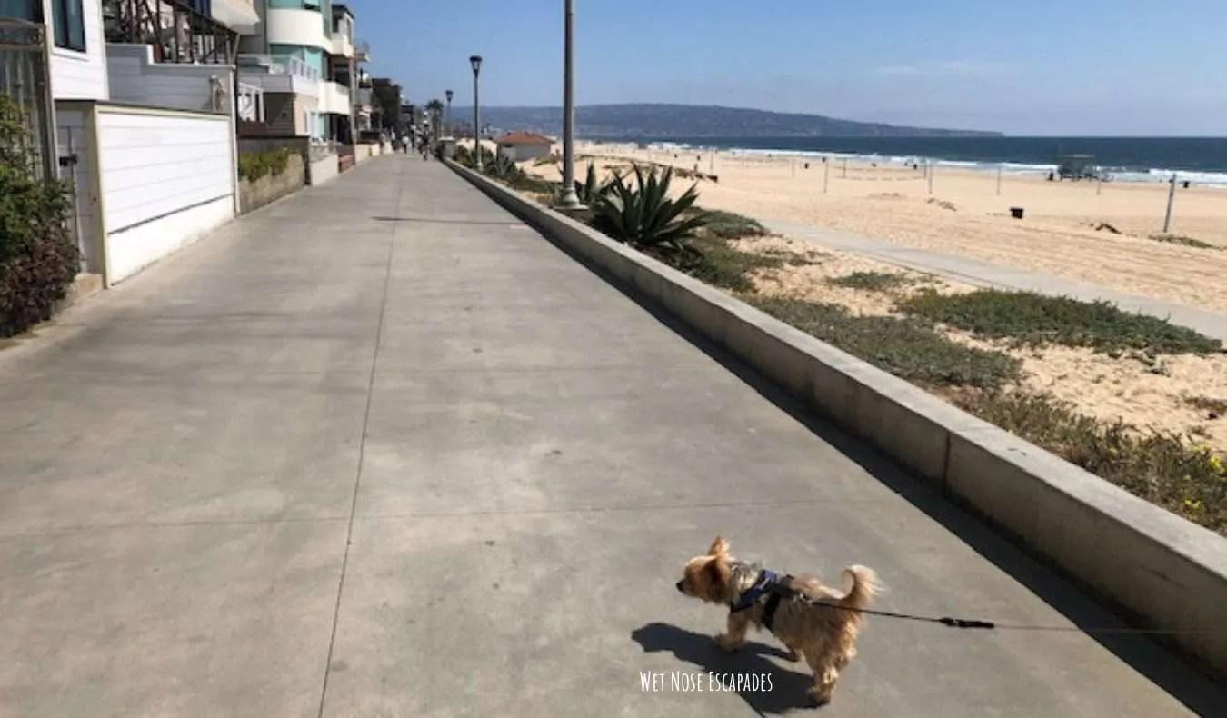 Yorkie Dog at The Strand, Manhattan Beach