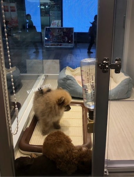 puppies under 8 weeks for sale in Osaka, Japan