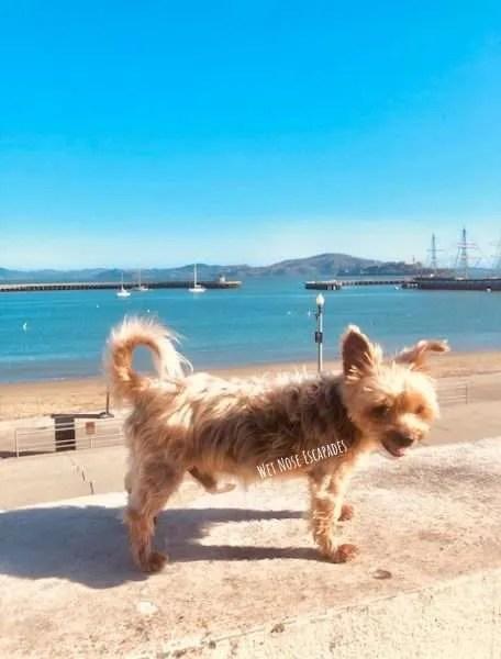 Yorkie Dog at Aquatic Park in San Francisco