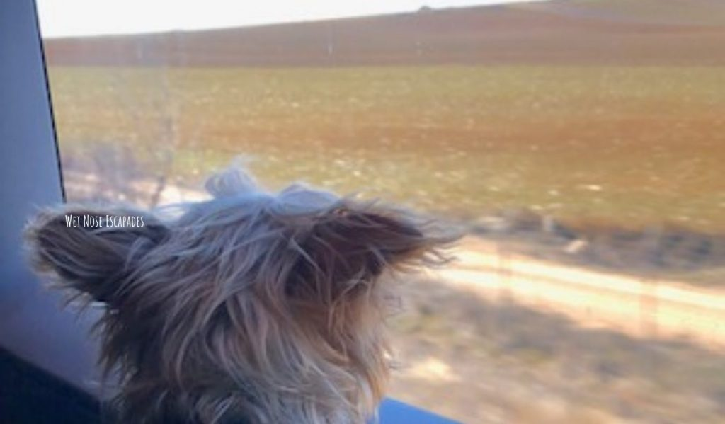 Yorkie Dog riding public transportation train in Spain