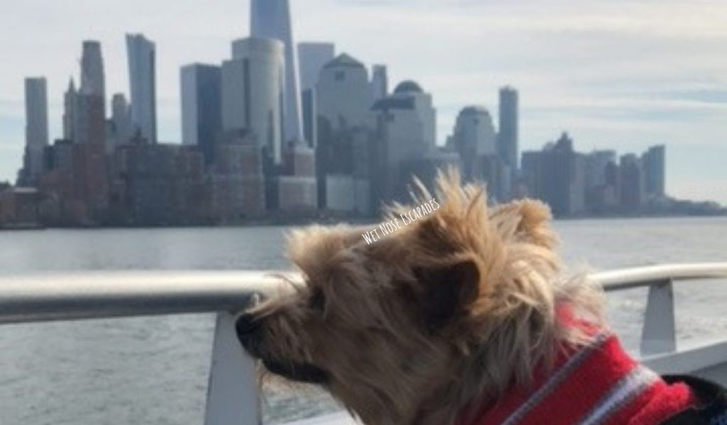 Yorkie dog riding ferry from Manhattan to New Jersey