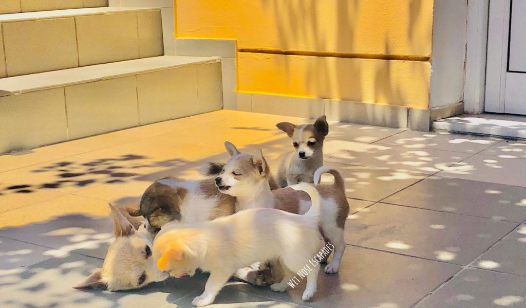 chihuahua puppies being nursed