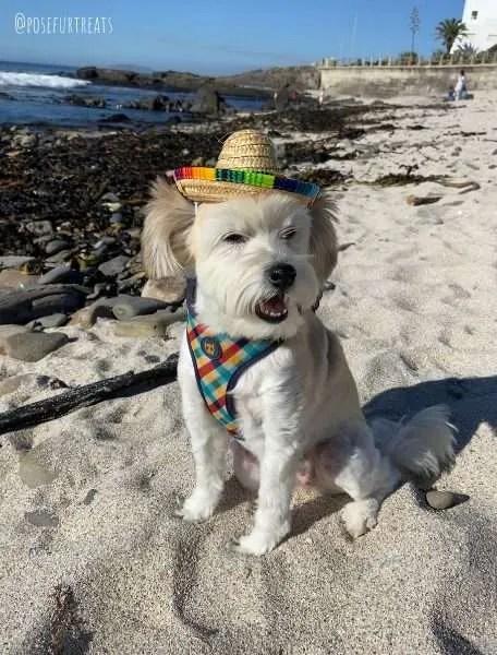 Dog-Friendly Cape Town: Maltese Dog at Sunset Beach