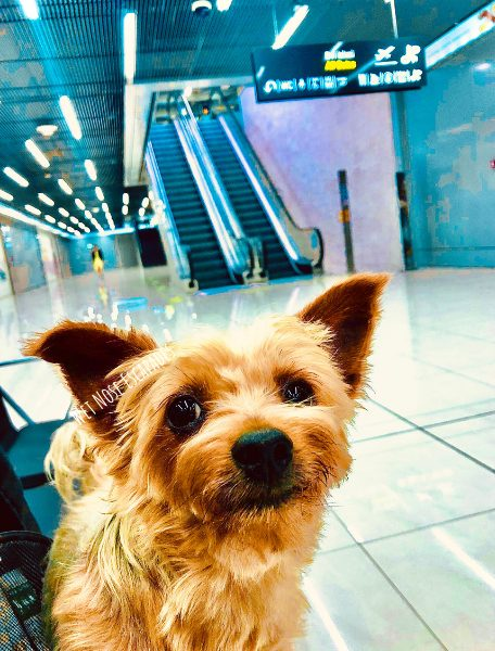 Yorkie dog traveling in Croatia, at the airport ready to fly on the plane