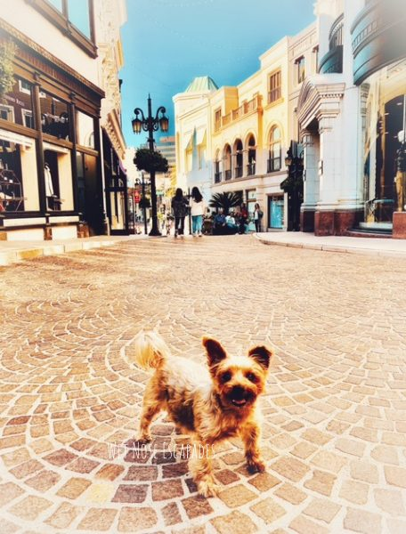 Yorkie Dog at Rodeo Drive Beverly Hills dog friendly