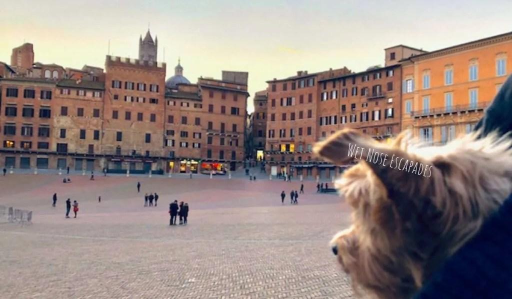 Yorkie dog in Siena, Italy