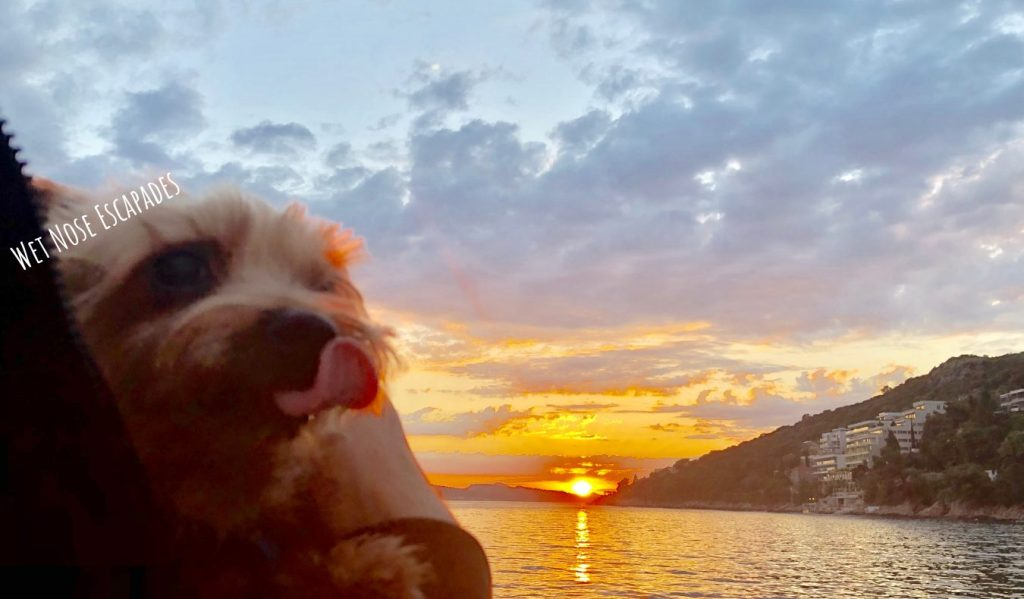 Yorkie dog in Dubrovnik, Croatia