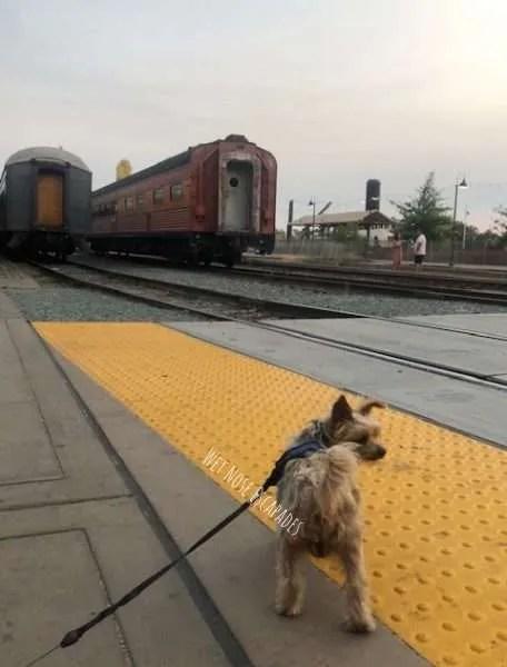 yorkie dog in old sacramento, railroad
