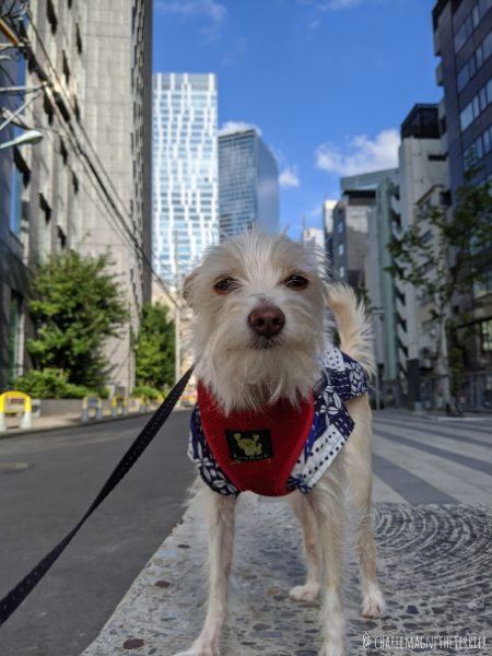 Dog-Friendly Tokyo: An Interview with Charlemagne the Japanese expat