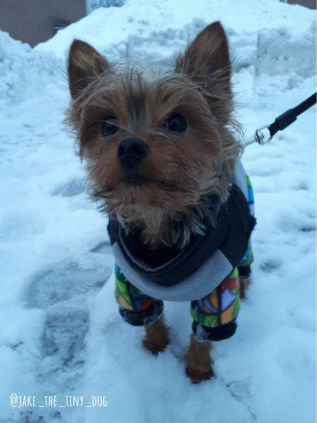 yorkie dog during the cold winter in ottawa, ontario
