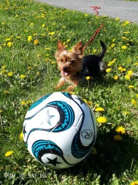 yorkie playing soccer in ottawa, ontario
