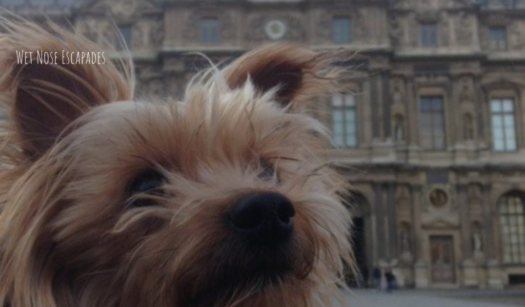 Yorkie dog at the louvre in Paris