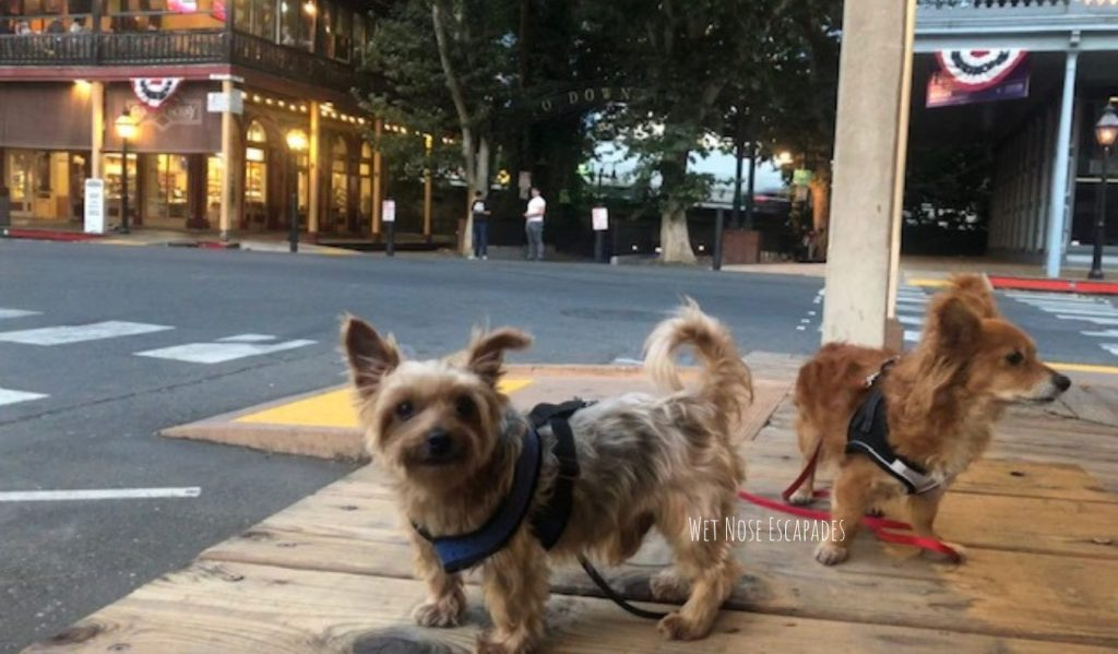 Yorkie and papshund in old sac
