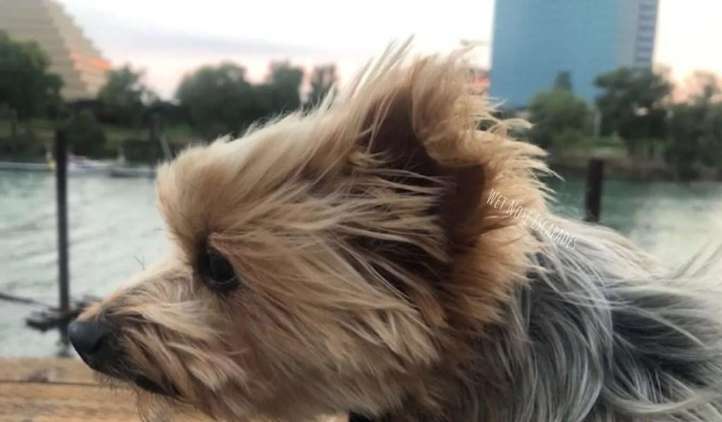 yorkie dog at old sac waterfront looking at downtown sacramento
