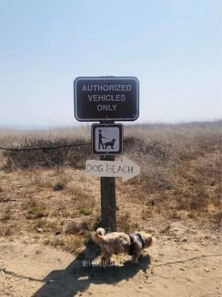 yorkie dog going to malibu beach