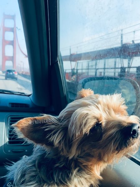 dog friendly sausalito, dog on golden gate bridge