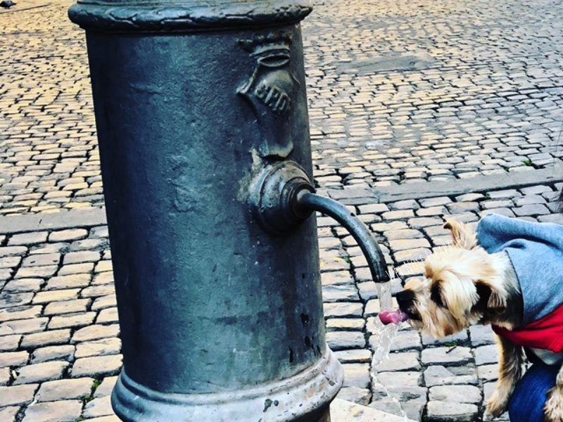yorkie dog drinking from water fountain in rome, italy