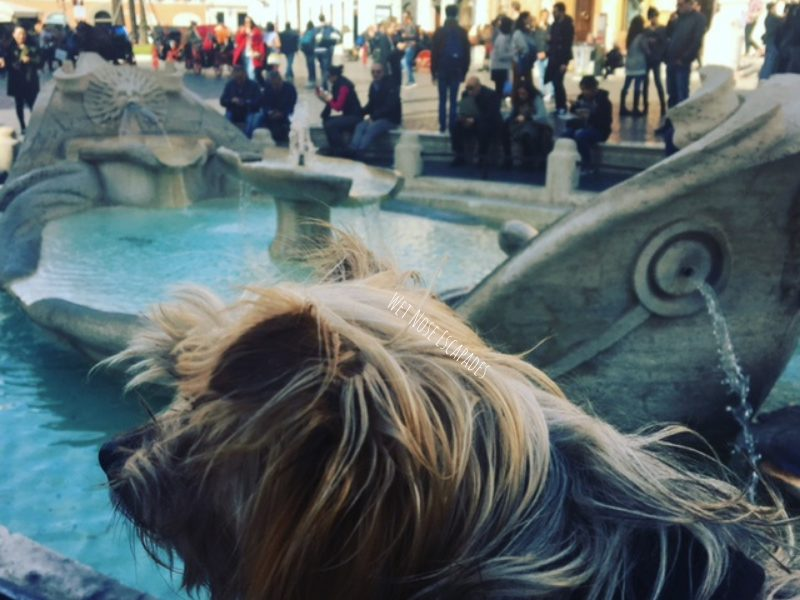 yorkie dog at the spanish steps in rome italy