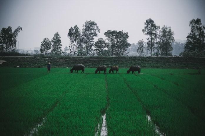 Vietnamese rice fields in Tam Coc, Ninh Binh