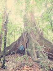 Gigantischer Baum El Ceibo, 40 Meter, 400 Jahre alt