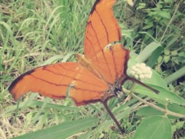 Unknown Schmetterling