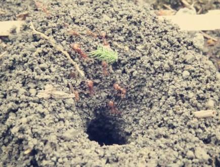 Die Ameisen bringen ihre Weihnachtsbäume in den Bau