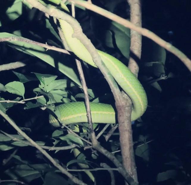 Grüngelbe Palmlanzenotter - giftig