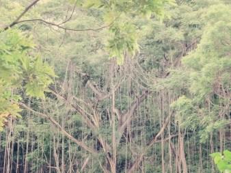 Bäume mit Lianen gibt's hier reichlich. Tarzan würde sich freuen.