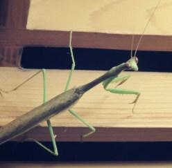 Besuch von einer Mantis