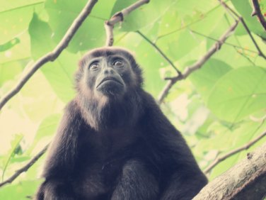 Brüllaffe oder Howler Monkey