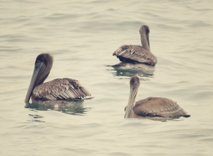 Pelikane am Strand von Montezuma