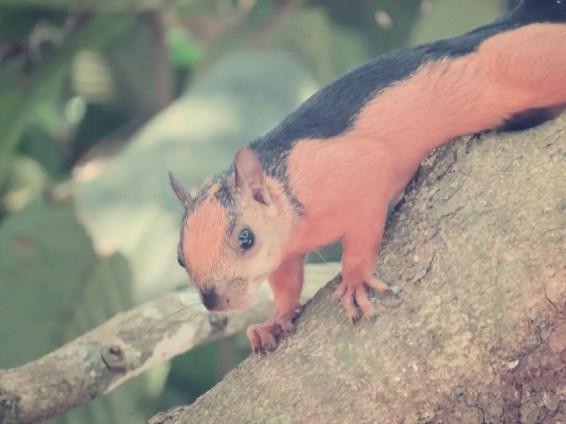 Costa Rica Eichhörnchen