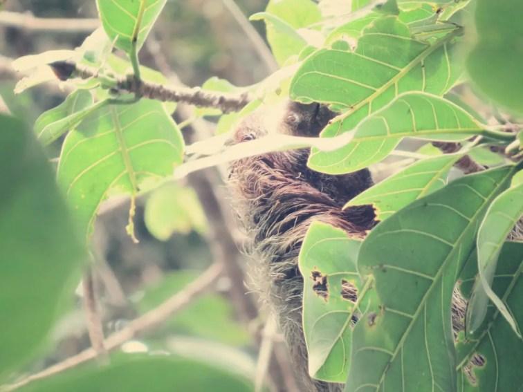 Faultier / Sloth