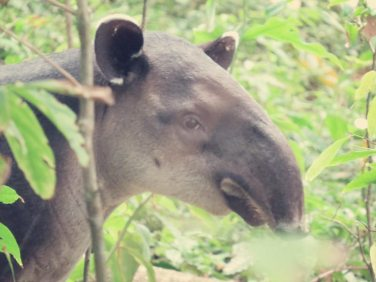 Ein Tapir erschreckte sich fast genauso wie wir zu Tode, als wir wieder in den Dschungel gingen.