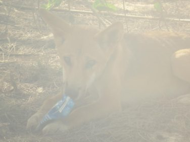 Ein Dingo beim Plastikmahl