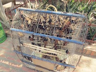 Um sich etwas zu wünschen kann man Vögel frei lassen, die wieder gefangen werden.