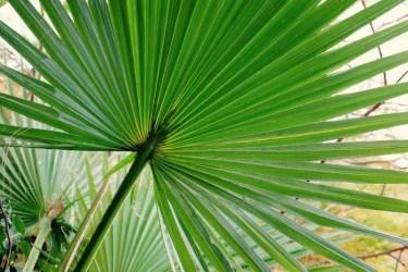 Palmblatt, Ma'In, Jordanien