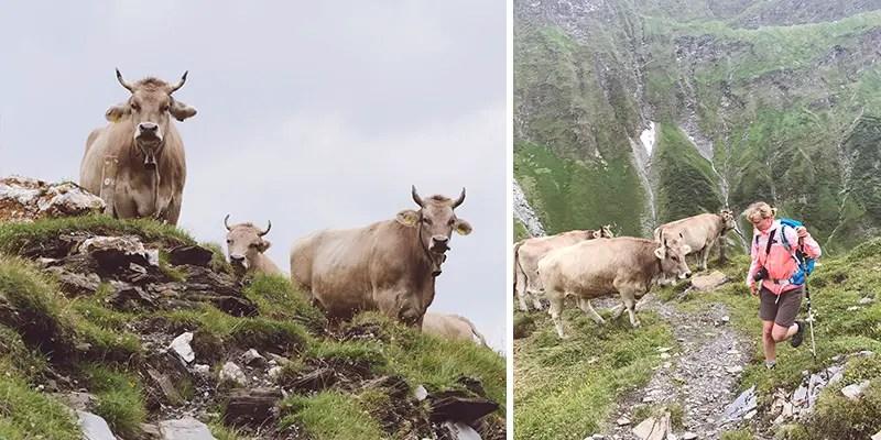 kühe auf dem Weg zum Diesrutpass