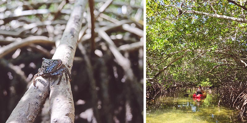 Florida Keys Mangroven