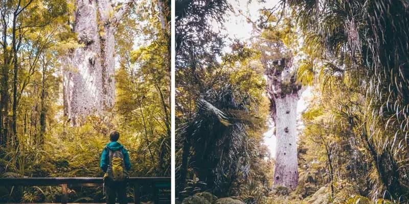 Neuseeland Nordinsel Highlights Kauri Bäume