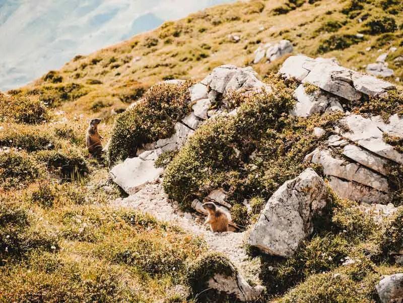 Murmeltiere Prättigauer Höhenweg