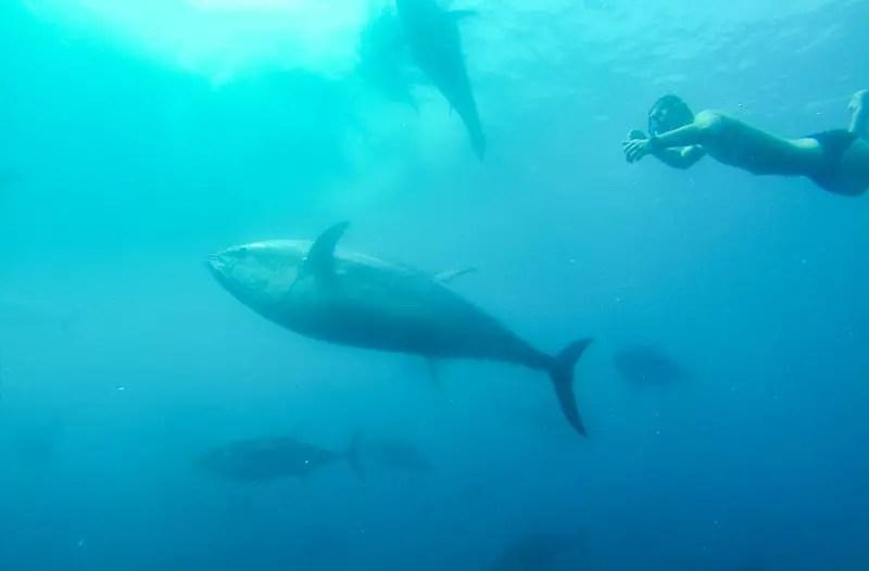 thunfisch-schwimmen_01