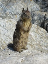 Small furry thing (ground squirrel)