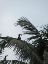 Oriental Pied Hornbill in a tree